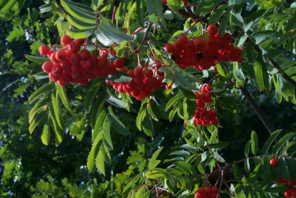 Klasar av rönnbär på rönnbärsträd